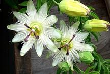 Bloemen Passiflora