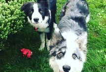 A Dog's Life / Things I've learned or found on my way to becoming a better dog owner.  I own two Border Collies - Nellie was rescued in 2015 and came with extreme fear and no training, and Gus joined us as a puppy in 2017.