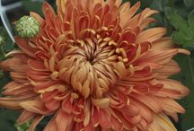 Heirloom Chrysanthemums / heirloom chrysanthemums, not your mom's football mums! / by Laughing Lady Flower Farm