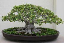 Bonsai / Bonsai ficus, bonsaï citrus, Orme de Chine...