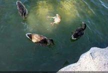 Ducks / Because ducks!