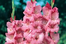 Summer Flowering Bulbs - Gladiolus / The gladiolus, also known as sword lily, is one of the three most popular summer bloomers. They can be used both in the garden and as cut flowers in a vase. We have created a selection of beautiful colours for you. You can also choose a colour mix of nanus, or baby gladiolus, which is a smaller version of the large-flowered gladiolus.