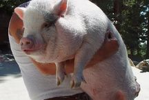 Pigspiration