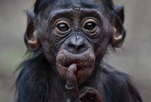 Schimpanser och bonobo