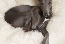 italian and spanish greyhounds