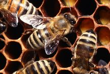 Bee Facts / A world without honeybees would also mean a world without fruits, vegetables, nuts, and seeds - #SaveTheBees