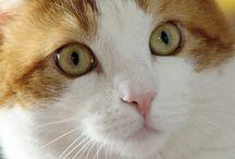 Cat ...  =^.^=  ARTU' / Gattone rosso e bianco di 15 kg