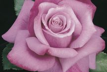 Fragrant Roses / These are roses with a strong fragrance that can be Hybrid Tea, David Austin, Floribunda or Shrub.