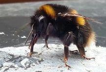Albine -Bees