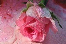 gül - rose