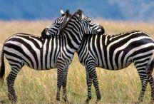 Zebras / Cebras