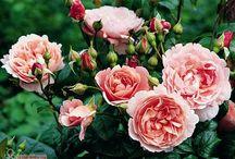 Garten : Rosa