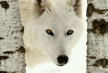 Lupi bianchi