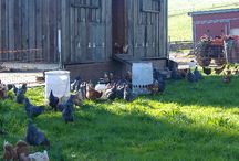 Grass Fed Chicken Eggs / Our grass fed chickens roam the fields of our organic family farm. We first started our chicken interests to have eggs for baby calves when they weren't feeling well. From there the flock has grown & now our grass fed eggs are available at Farmers Markets and on The Farm. They have rich orange/yellow yolks from all the grass they are eating, and an abundant amount of flavor!
