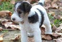 Wire foxies / Wire Hair Fox Terriers