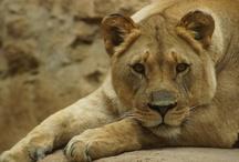 Lions' Lair