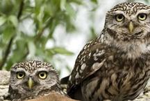 Owls  / Omdat ze zo speciaal zijn