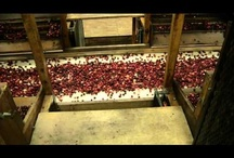 How cranberries are grown.
