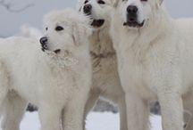 Tatra dogs