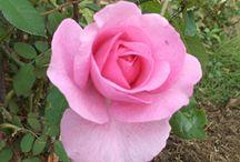 Roses / Les roses de mon jardin
