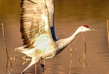 Sandhill Crane Migration / Each Spring more than 80% of the world's population of Sandhill Cranes converge on Nebraska's Platte River!