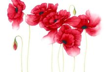 poppies red