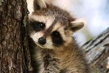 Raccooon