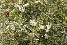Abelia x Grandiflora Confetti