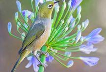 zosterops birds (IKZ)