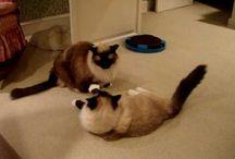 Ragdoll Cat Videos