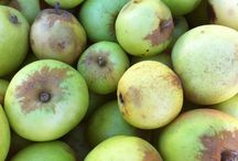 Cider Apples / Apples we use at Bull Run Cider in our hard ciders. / by Bull Run Cider