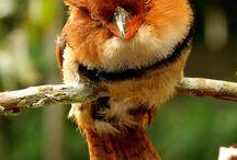 birdy muse
