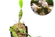 Dendrobium / Semua tanaman dalam board ini bisa dikirim keseluruh Indonesia, silahkan order ya, tel: 0341-599399 I SMS center: 08569020300 atau kunjungi website kami www.kebunbibit.id