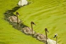 BIRDS: Water birds