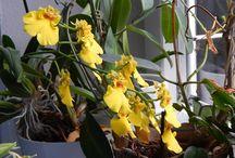 moje orchidky