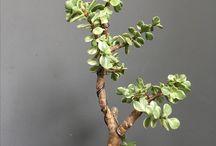 sukulentni rostliny