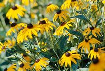 Blackeyed Susan: Yellow & Black Inspiration / A look at the yellow and black flowers along with some inspiration from their color scheme.