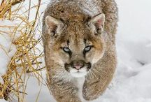 Mountain lions / by Sydney Vegezzi