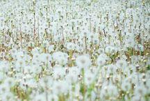 dandelions.......... / by Ilsé McCarthy