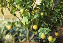 Grow fruit tree in pot