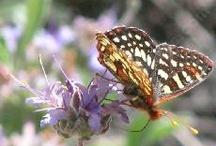 Hummingbird / Butterfly Plants