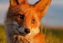 { renard / fox }