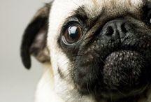 Pugs + Puppies / Cute + Fluffy
