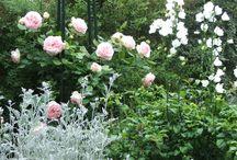 associations plantes avec rosiers