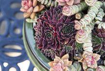 Kövirózsák, pozsgások - Succulents