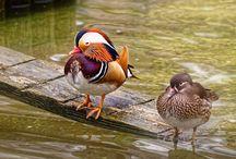 Oiseaux - Les canards