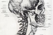 studium czaszki