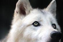 | Carmine || OC | / A werewolf.