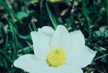 Violaceae - Umbelliferae - Scrophulariaceae - Saxifragaceae - Rosaceae / digitalisierte Dias von Hans Hermann (1926-2001)