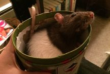 Rats and other animals / Furry fun